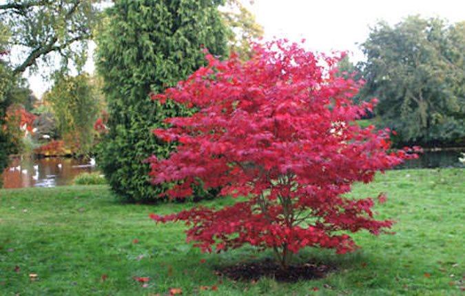 Venta de Acer palmatum en Tot en Ú