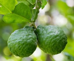 Bergamota (Citrus bergamia)
