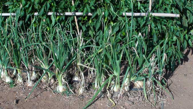 Variedades de cebolla y fechas de plantación