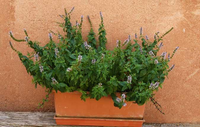 Plantas arom ticas para disfrutar jardiner a tot en u - Plantas aromaticas exterior ...