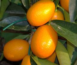 Kumquat (Citrus margarita = Fortunella margarita)