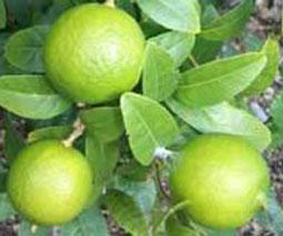 Lima (Citrus aurantifolia)