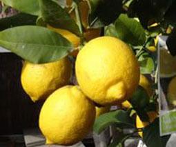 Limonero, Citrus limón