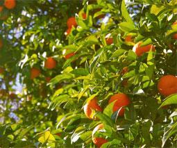 Mandarinas (Citrus reticulata)