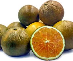 Naranja Navel chocolate