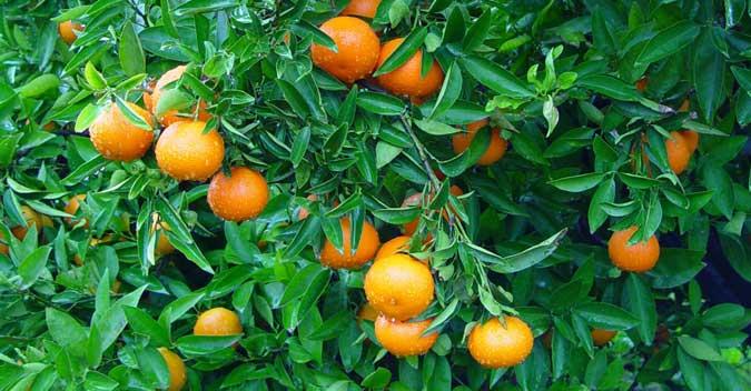 Naranjas sabrosas