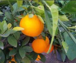 Naranjas, Citrus sinensis