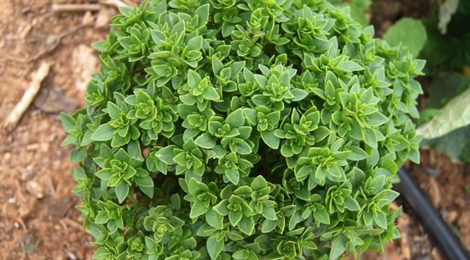 Albahaca for Cultivo de albahaca en interior