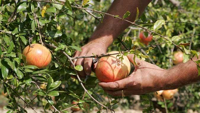 Venta de plantones de frutales en Valencia