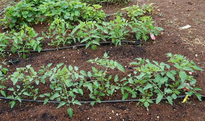 Plantas de tomate en huerto urbano