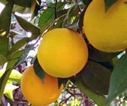 Pomelo (Citrus paradisi)
