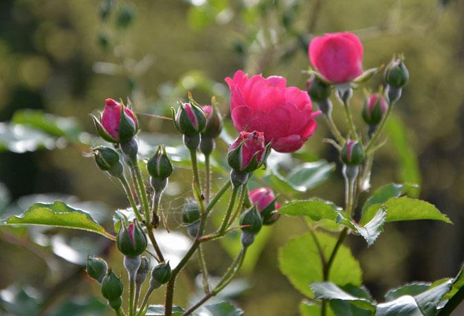 Rosal en flor rosa