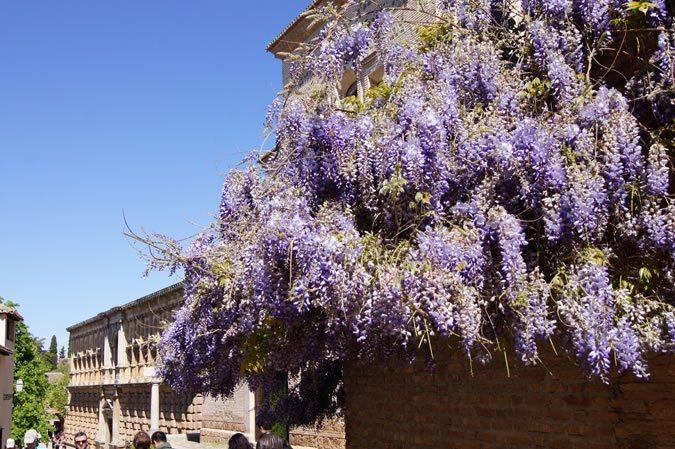 Cuanto puede crecer una wisteria en maceta casa dise o - Glicinia en maceta ...